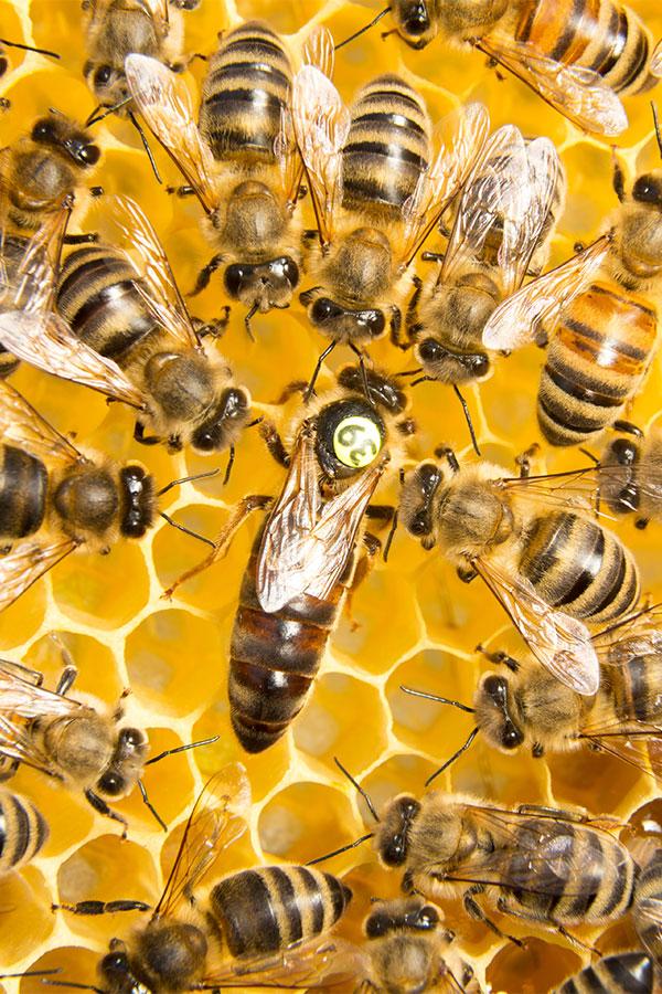 Bienenkönigin zwischen Arbeiterbienen