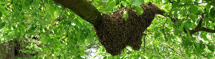 Bienenschwarm im Baum